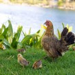 Chicken with chickens — Stock Photo #60809733