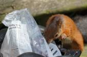 Eurasian Red Squirrel (Sciurus vulgaris) — Zdjęcie stockowe