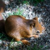 Eurasian Red Squirrel (Sciurus vulgaris) — Foto de Stock