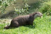 Euraziatische otter (lutra lutra) — Stockfoto
