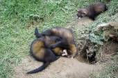 European Polecat (Mustela putorius) — Stock Photo