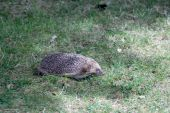 European Hedgehog (Erinaceus europaeus) — Stock Photo