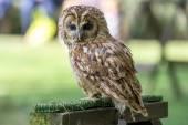 Tawny Owl (Strix aluco) — Stock Photo