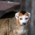 Crowned Lemur (Eulemur coronatus) — Stock Photo #67542939