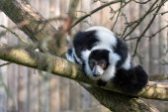 Black-and-White Ruffed Lemur (Varecia variegata) — Stock Photo