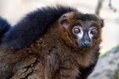 Black Lemur (Eulemur macaco) — Stock Photo