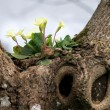 Primula vulgaris growing on a tree — Stock Photo #68027677