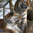 Siberian Tiger (Panthera tigris altaica) — Stock Photo #68029565