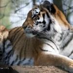 Siberian Tiger (Panthera tigris altaica) — Stock Photo #68030153
