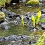 Yellow Skunk Cabbage (Lysichiton americanus) — Stock Photo #70061567
