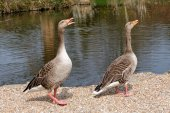 A pair of Greylag Geese (Anser anser) — Stock Photo