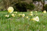 Lemon Yellow Hoop Petticoat Daffodil (Narcissus bulbocodium) — Stock Photo