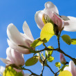 Magnolia Tree Flowering at St Fagans National History Museum in Cardiff on April 19, 2015 — Stock Photo #71704117