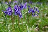 Bluebells in Full Bloom — Stock Photo