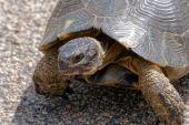 Sardinische marginated landschildpad (testudo marginata) — Stockfoto