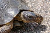 Sardinian Marginated Tortoise (Testudo marginata) — Stock Photo