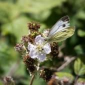 Large White (Pieris brassicae) Butterfly Female Feeding on a Bla — Stock Photo