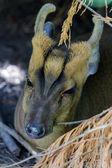Muntjac Deer (Muntiacus) — Stock Photo
