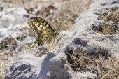 The Swallowtail, Papilio machaon — Stock Photo