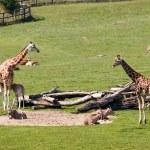 Giraffes — Stock Photo #53544511