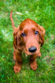 Irish setter — Stock Photo