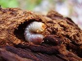 Larva — Stock Photo