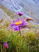 Güzel alps blumen — Stok fotoğraf