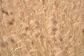 Reeds — Stock Photo