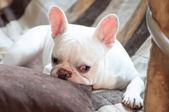 Sleepy French bulldog — ストック写真