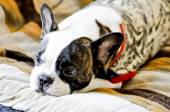Sleepy French bulldog,crying   French bulldog — Stock Photo