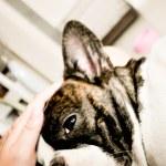 Wail and wine french bulldog — Stock Photo #60707181