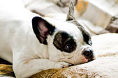 French bulldog and cushion — Stock Photo
