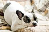 French bulldog and cushion — Стоковое фото