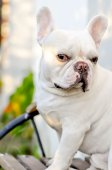 French bulldog on the bench — Stock Photo