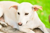 White dog — Stock Photo