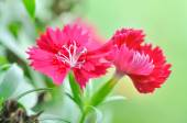 China Pink , Dianthus chinensis L. flower — Stock Photo