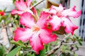Pink Bignonia flower — Stock Photo