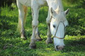 Withe horse — Stock Photo