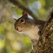Squirrel — Stock Photo #70191127
