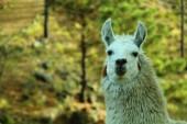 Withe llama — Stock Photo