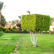 Square topiary tree in Egyptian formal garden. Summertime outdoo — Photo #85020394