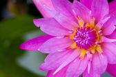 Lotus Water Flower background — Stock Photo