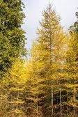 Autumn Pines — Stockfoto