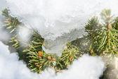 Frozen fir branches — Stock Photo