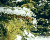 Pine branch with ice — Stock Photo