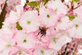 Bee collects pollen on a flower — Stock Photo