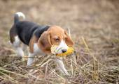 Beagle puppy playing with a corn in its mouth — Stock Photo