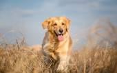 Golden retriever dog running outdoor — Stock Photo