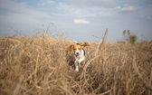 Beagle running happy over the meadow — Foto Stock