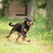 Young Rottweiler dog running — Stock Photo #59236417